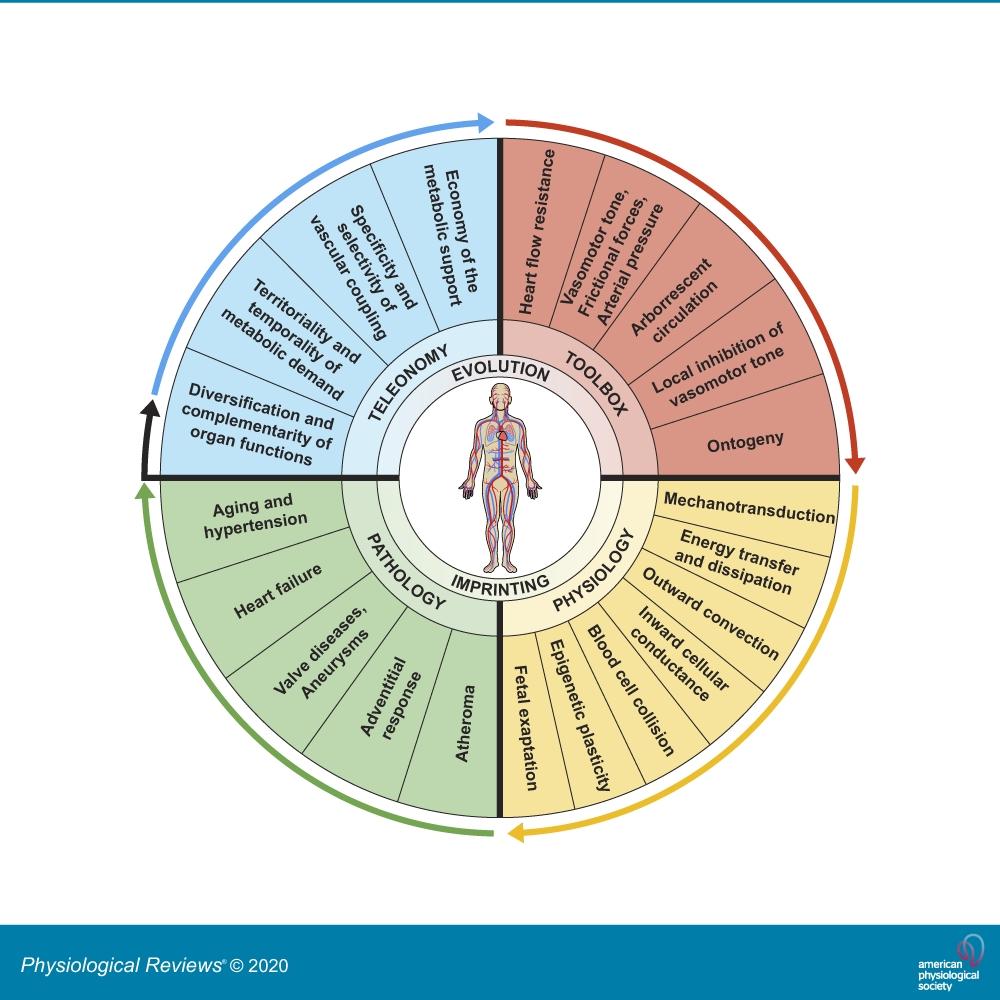 Phylogenic Determinants Of Cardiovascular Frailty, Focus On